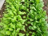 葉物野菜(ビニールハウス)