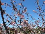 YHのかわず桜