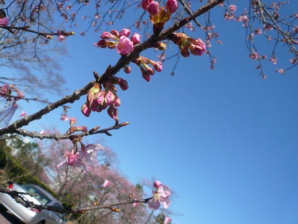 P1060366しらこ桜祭り20