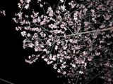 しらこ桜祭り 夜桜