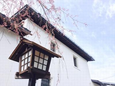 瀬戸川の桜20160408