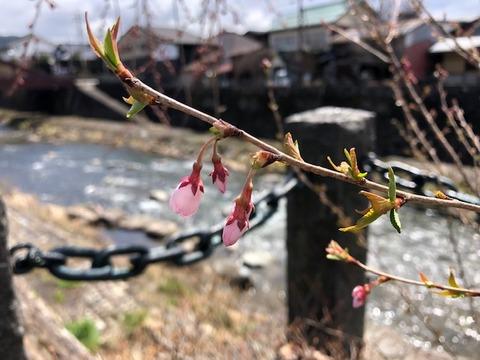 桜開花20190411