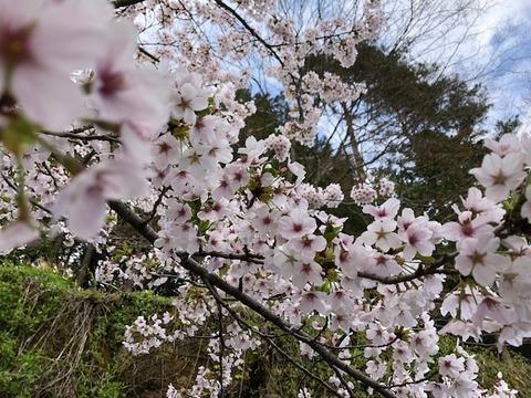 桜満開20180415