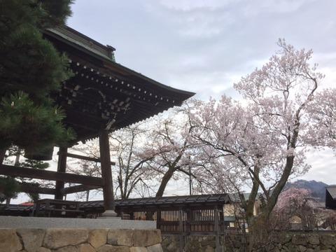 真宗寺桜2