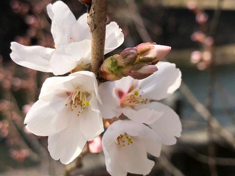 桜開花20180403
