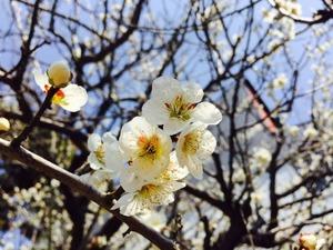 梅の花20170414