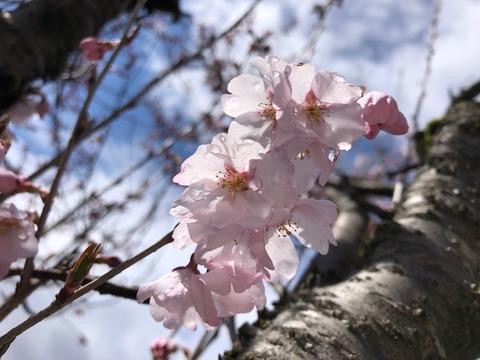 桜咲く20190411