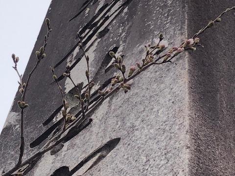 桜咲く20200401