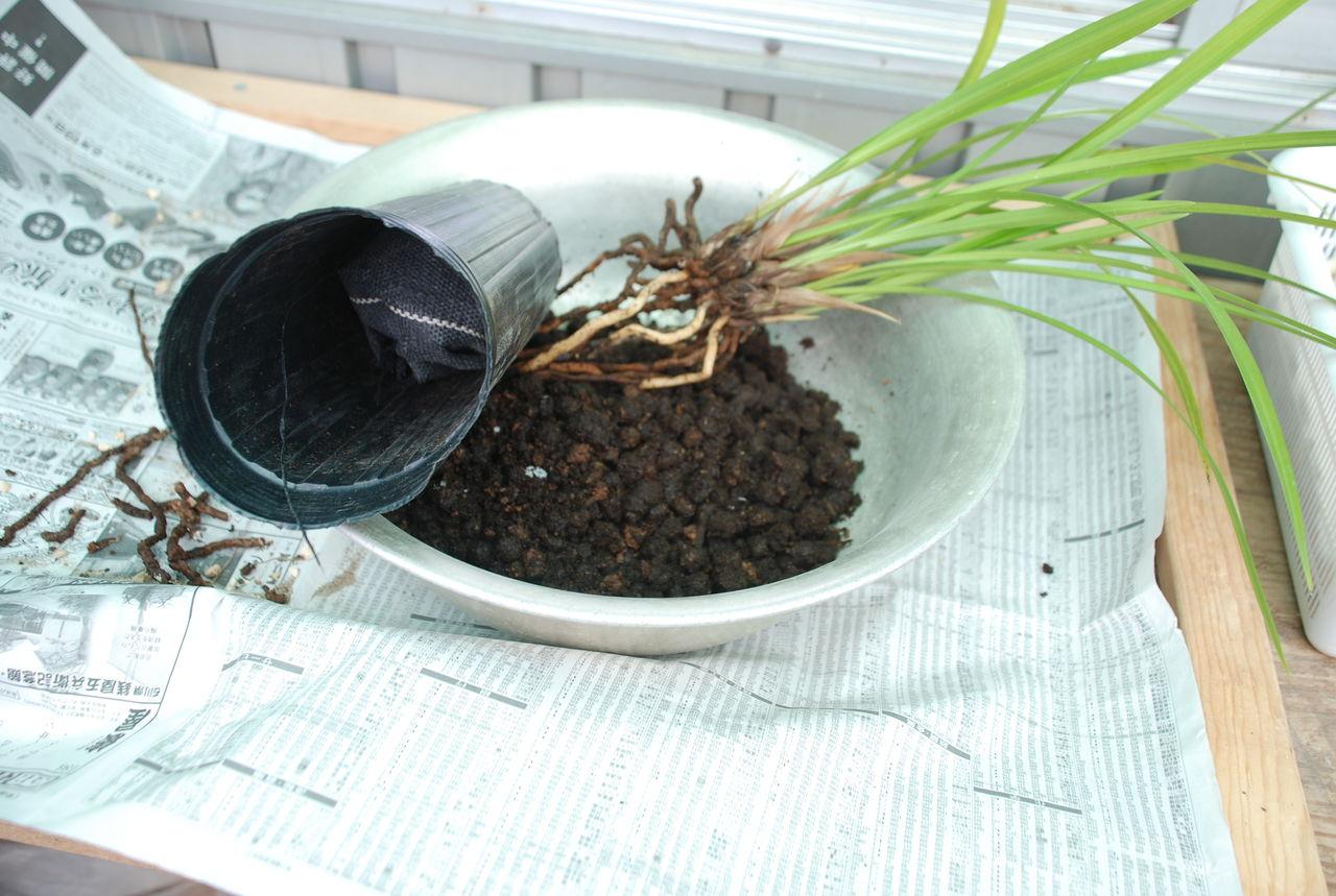 ハカマの寒蘭日記カテゴリ:ペレポスト炭素循環栽培親切なアドバイスペレポスト栽培の検証 その2ペレポスト栽培の検証ペレポスト栽培の潅水尿素の液肥全滅か?それとも復活か その3全滅か?それとも復活か その2全滅か? それとも復活か施肥と病気の対策私が病気になりそうです                        ハカマ