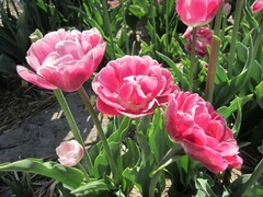 Tulip09