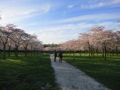 Sakura109