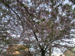 Sakura203