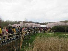 Sakura201
