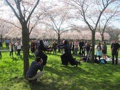 Sakura29