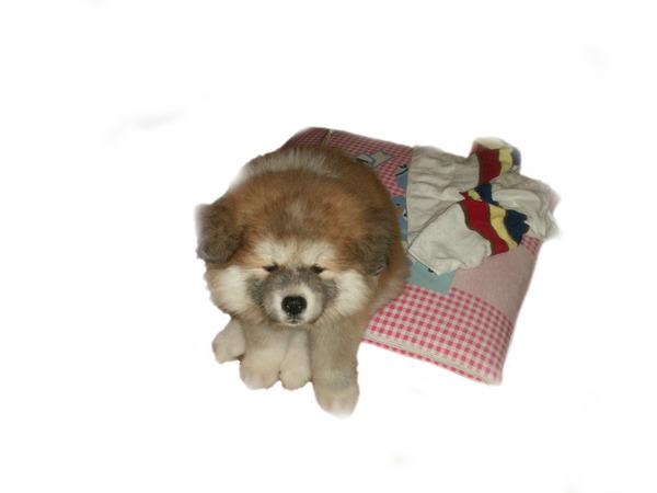 今の犬の子犬時代01