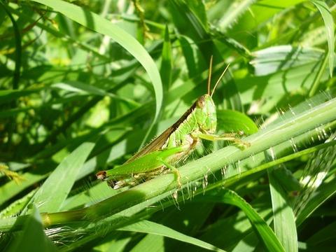 P1060880grasshopper