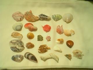 集めた貝殻