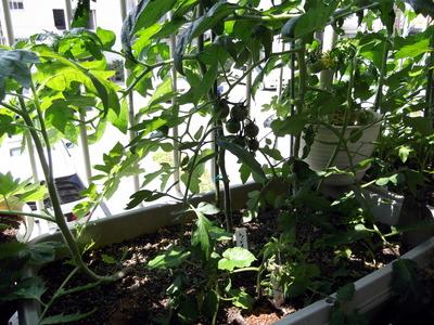 トマト手入れ1 2012-05-27 10-18-46
