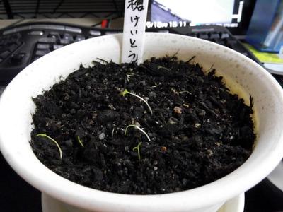 槍けいとう1 2012-05-15 15-12-23