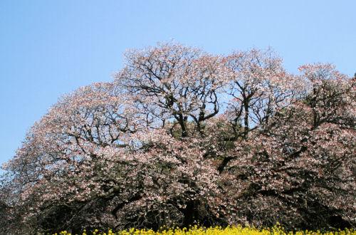樹齢300年の吉高の大桜