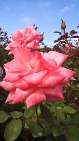 薔薇じゅういち