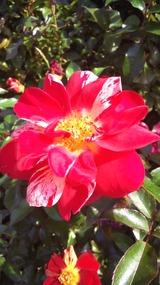 薔薇きゅう