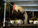 上野動物園の鶏