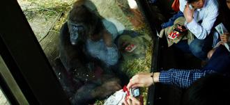 上野動物園のゴリラと人間
