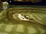 ニシキヘビ骨格標本