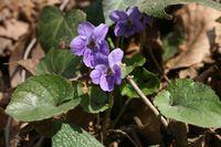 Viola olimpica