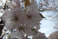 サクラ有明花