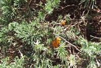 ミヤマビャクシン葉、菌付