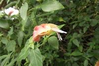コエビソウ花