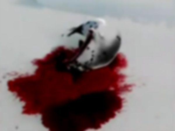 【グロ動画】あのかわいいアザラシを殺戮しまくってる国がある・・・(※閲覧注意)