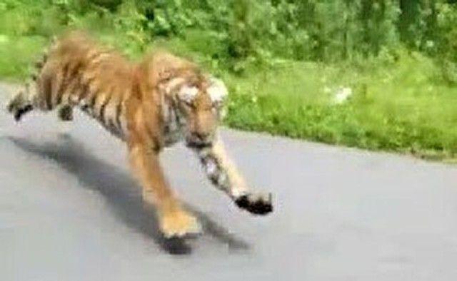 【動画】 これはww怖すぎ!!  野生の「トラ」に追いかけられたバイカー!!