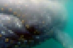 【閲覧注意】クジラを至近距離で見てはいけない理由…(画像あり)