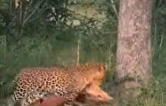 【動画】 どうしても木の上で獲物を食べたいヒョウの腕力が凄いw!!
