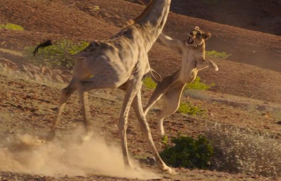 キリンVSライオン ライオンがキリンに襲い掛かるが…