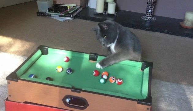 【動画】 ネコとビリヤードの相性は抜群だった。ネコに効果的なオモチャ!!