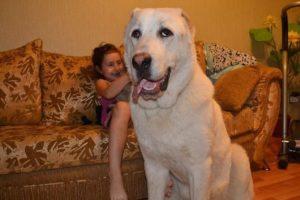 【閲覧注意】6歳の幼女がまさか…ある日を境に凶暴化した犬!近親交配が原因?等と噂も…