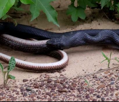 蛇を生きたまま頭から丸飲みした蛇が吐き出してしまう