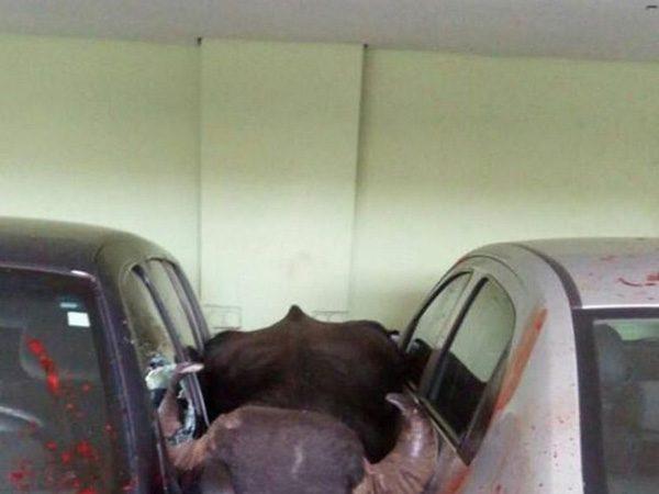 【閲覧注意】街中で暴れた水牛の壮絶すぎる最期・・・(画像5枚)