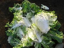091121白菜3
