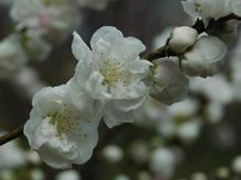 100404桜