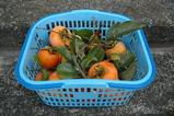051022柿の収穫