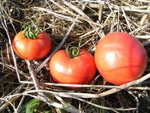 090914いいトマト