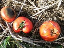 090914悪いトマト