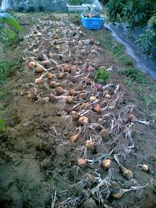 100613たまねぎの収穫