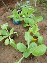 秋野菜の苗
