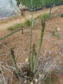 アスパラ(畑)